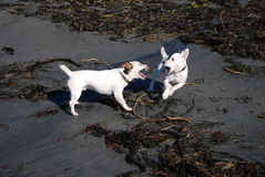 Rough play. Two  white Jack Russell's playing rough on the beach with seaweed showing teeth Royalty Free Stock Photos