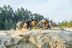 A German Shepherd and a Belgian Shepherd play a rough game in the sand. Rough-playing dogs in a sand quarry with bared teeth and splashing grains of sand royalty free stock photo