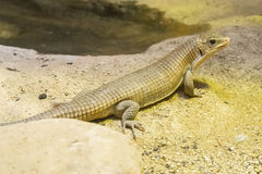 Rough-scaled plated lizard on the sand Stock Photos