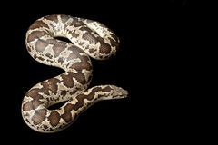 Rough-scaled sand boa Royalty Free Stock Photography