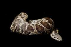 Rough-scaled sand boa Royalty Free Stock Photos