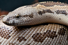 Rough-scaled sand boa Stock Photo