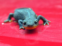 Rough Skinned Newt. A wild Rough Skinned Newt warming up on a red background Stock Images
