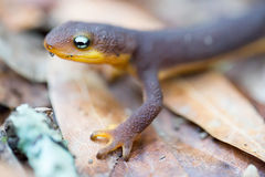 Rough-skinned Newt (Taricha granulosa) Royalty Free Stock Photos