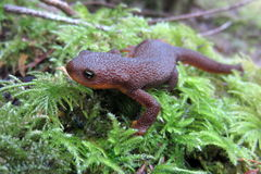 Rough-skinned Newt up Close royalty free stock photography