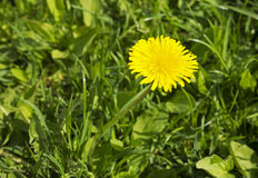 Rough Sow-thistle Stock Image