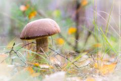 Rough-stemmed bolete mushroom. In the autumn pine forest Royalty Free Stock Photography
