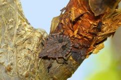 Rough stink bug, Brochymena quadripustulata, Pune. Maharashtra Royalty Free Stock Images