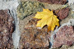 Rough stone wall with yellow maple leaf Stock Photo