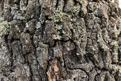 Rough texture of the oak tree bark. Stock Image