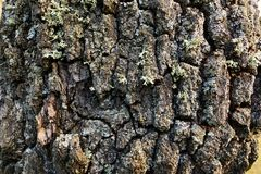 Rough texture of the oak tree bark. Stock Photos
