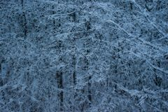 Snow on trees closeup background wallpaper royalty free stock photo