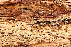 Rough texture of wood destroyed by boring insects stock photo