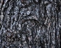 Rough textured bark of white pine tree Pinus strobus. With evidence of limbs cut off Stock Photography