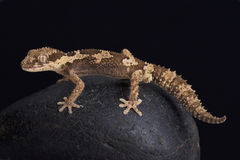 Rough thick-toed gecko, pachydactylus rugosus. The Rough thick-toed gecko, pachydactylus rugosus, is a bizar looking lizard species found in South Africa Stock Photos