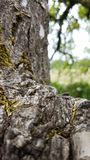 Rough tree trunk and limb. A rugged rough tree trunk and limb stock photography