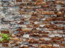 Rough vintage uneven brick wall with hard broken white plaster paint wall and green plant copyspace background Royalty Free Stock Photo