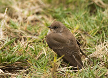 Rough-winged Swallow Royalty Free Stock Photos