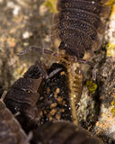 Rough woodlice (Porcellio scaber) eating dead slug Royalty Free Stock Photography