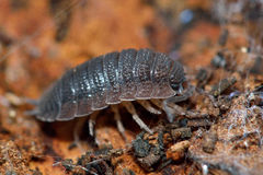 Rough woodlouse (Porcellio scaber). Terrestrial crustacean in the familiy Porcellionidae, on bark with spider's web Stock Image