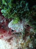 Roughback螃蟹 库存照片