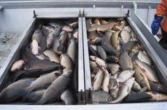 Roughfish-Abbau Stockbilder