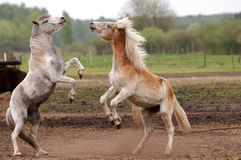 Roughhousing horses Stock Photography