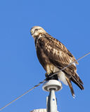 Rough-legged hawk on power pole Royalty Free Stock Image