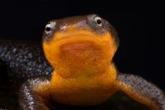 Roughskin蝾螈太平洋蝾螈类granulosa 免版税库存照片