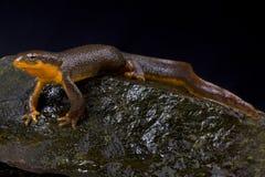 Roughskin newt, Taricha granulosa stock photo