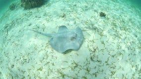 Roughtail在加勒比海浅水区的黄貂鱼游泳  股票视频