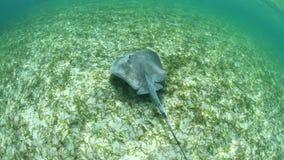 Roughtail在浅水区的黄貂鱼游泳 股票视频