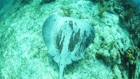 Roughtail黄貂鱼在加勒比游泳 股票录像