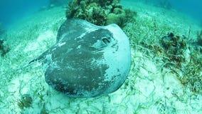 Roughtail黄貂鱼游泳在加勒比海草 股票视频