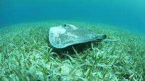 Roughtail黄貂鱼游泳在海草在加勒比 影视素材
