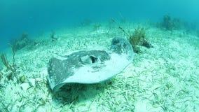 Roughtail黄貂鱼游泳在海草草甸 股票视频