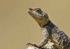 Roughtail Rock Agama (Stellagama stellio) Royalty Free Stock Images