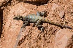 Roughtail rock Agama Stellagama stellio brachydactyla aka Painted Dragon royalty free stock image