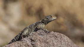Roughtail Rock Agama Royalty Free Stock Photo
