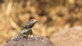 Roughtail Rock Agama Stock Image