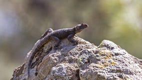 Roughtail Rock Agama. Stellagama stellio sunbathing on rock Royalty Free Stock Photo
