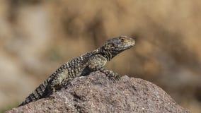 Roughtail skały Agama Zdjęcie Royalty Free