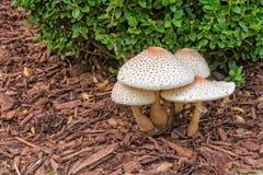 Rougissement Lepiota - champignons photographie stock libre de droits