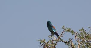 Rouleau abyssinien sur le dessus d'arbre banque de vidéos
