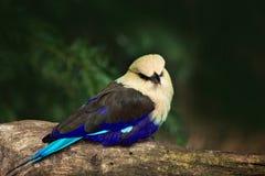 rouleau Bleu-gonflé, cyanogaster de Coracias, dans l'habitat de nature Forme sauvage Sénégal d'oiseau en Afrique Bel oiseau avec  Image libre de droits