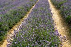 Rouleau de buissons de floraison de lavande dans une ferme - 1 image libre de droits