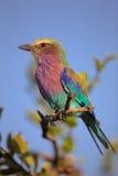 Rouleau de lilas-breasted été perché sur une branche d'arbre Photographie stock libre de droits