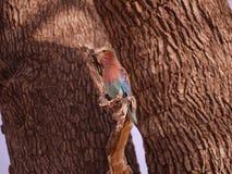 Rouleau de Lilas-breasted Photo libre de droits