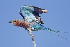 Rouleau de Lilas-breasted avec les ailes ouvertes sur le branchement Photographie stock libre de droits