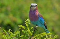 Rouleau de lilas-breasted (caudatus de Coracias) en parc national de Kruger. Images stock